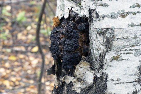 Chaga growing on Birch tree