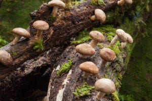 Shiitake growing on tree
